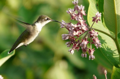 hummingbird at milkweed
