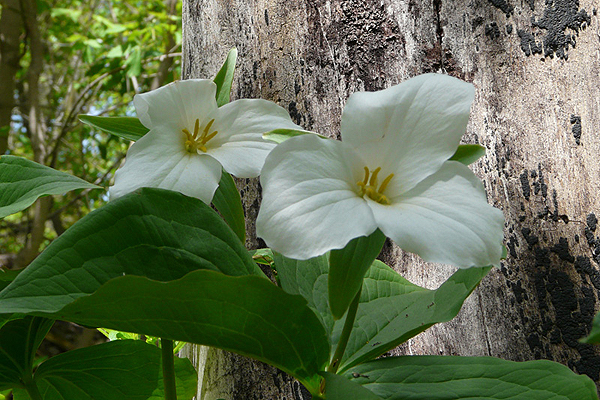 Trillium gradiflorum - Large Flowered Trillium