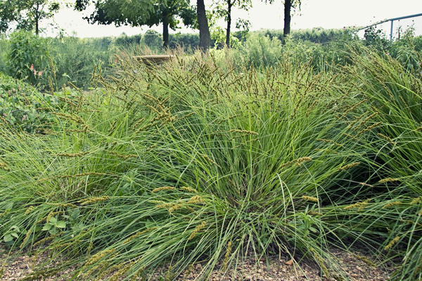 Versatile Sedges for Lawn and Garden The Native Plant Herald