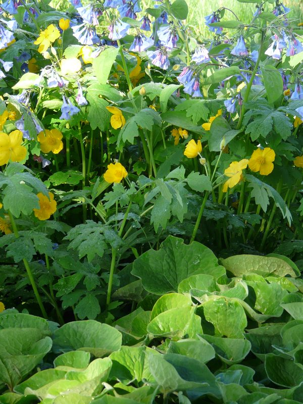 Some Wild Ginger in our display garden, with Celandine Poppy and Virginia Bluebells.