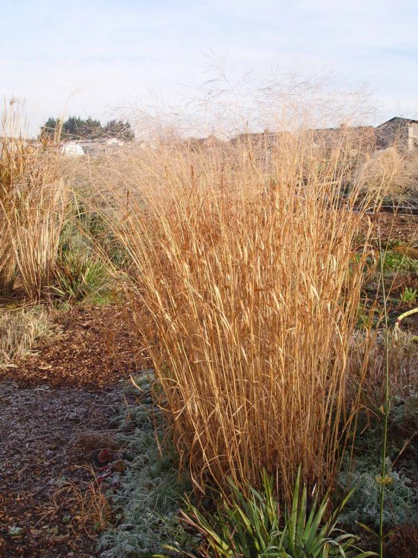 Native grasses the tall and short of it the native for Tall red grass