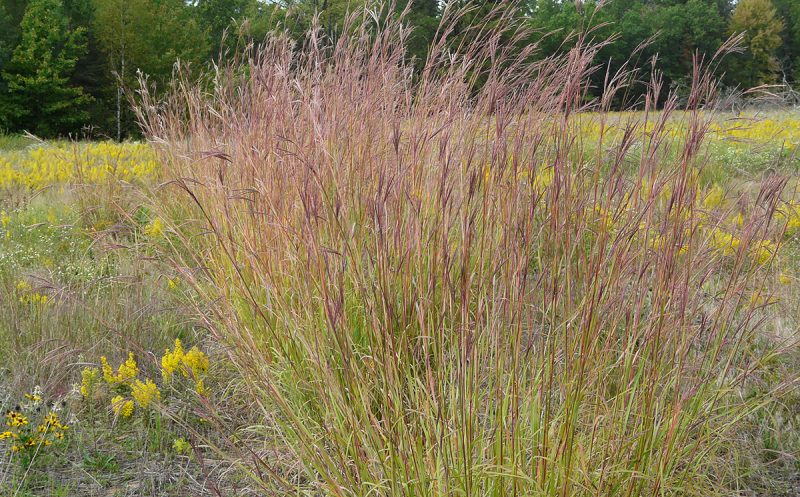 Big Bluestem, standing tall.
