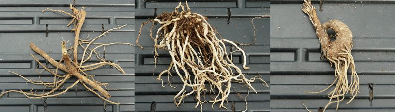 How To Transplant Bare Root Plants The Native Plant Herald